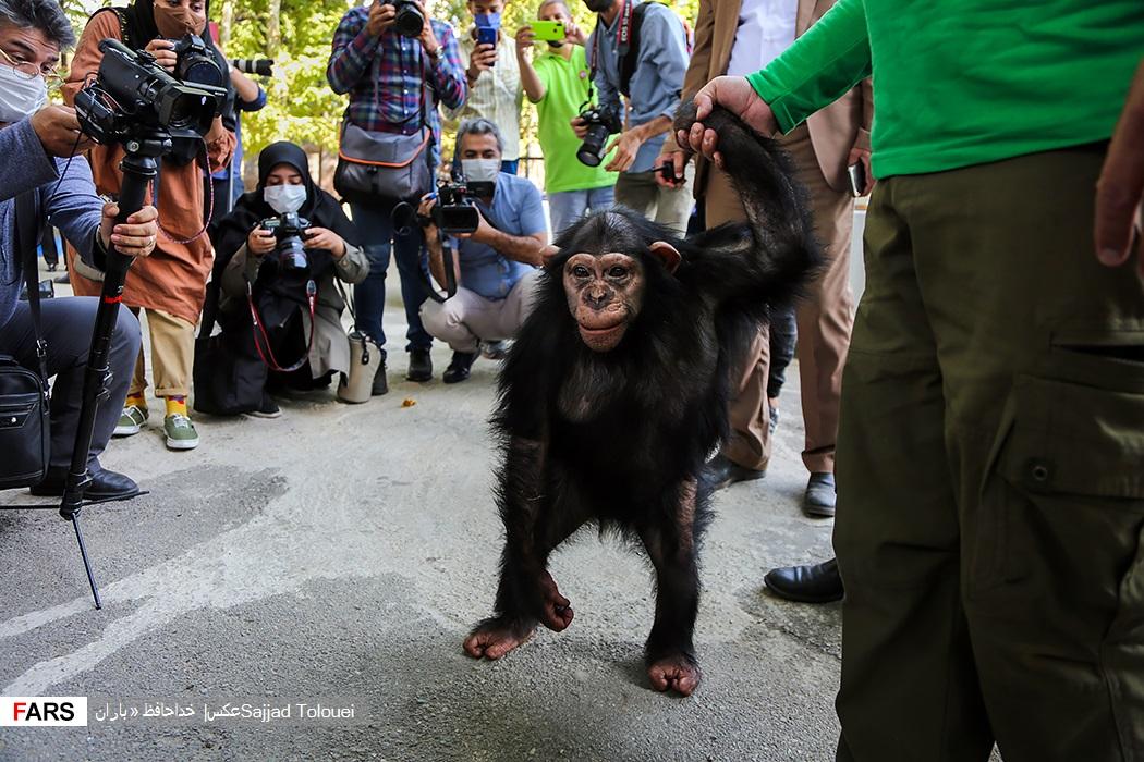 مراسم خداحافظی از «باران» ماده شامپانزه 4 ساله باغ وحش ارم برای انتقال به یک مرکز بین المللی نگهداری از شامپانزه ها در کنیا