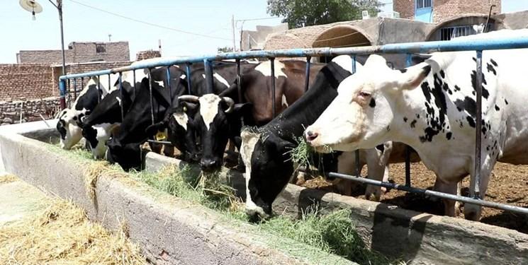 تلقیح مصنوعی گاوهای بومی در سیستان وبلوچستان