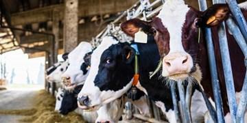 قطار بیتدبیریها به ایستگاه دامداریها رسید/ تولیدکنندگان شیر و گوشت در آستانه ورشکستگی