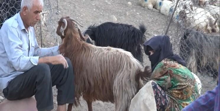 میراث روحانی| آخرین وضعیت تولید گوشت/وزارت جهاد کشتار دام به خاطر هزینههای سنگین دامدار را تایید کرد