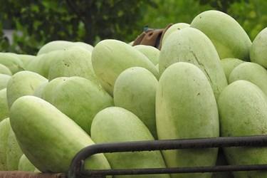 عکس  برداشت هندوانه در چاف قطب تولید هندوانه