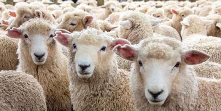 گوسفند زنده کیلویی ۵۷ هزار تومان در ایام محرم