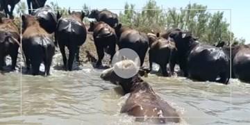 آبتنی گاومیشها در آب هورالعظیم