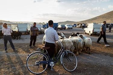 مردی دوچرخه در دست  برای تماشای گوسفندان کنار آنها ایستاده است.