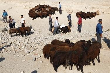 دامداران در کنار گله های خود ایستاده اند و مواظب هستند گوسفندی به گله دیگری نرود.