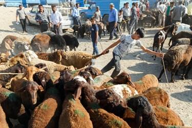 پسر نوجوانی  پای گوسفندی را که به گله دیگری فرار کرده، پشت سر خود می کشد و به سمت گله خودشان هدایت می کند.