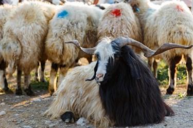 نمایی از دام ها در بازار هفتگی دام و حیوانات خسروشاه