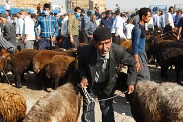 پیرمردی در حالیکه بند گوسفندان خود را در دست گرفته است، در انتظار آمدن مشتری ایستاده است.