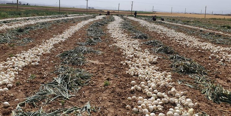 خشکسالی کشت پیاز در بروجن را 50 درصد کاهش داد