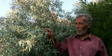 عمو ذولفعلی پدر کوهستان/ میوههایی برآمده از دل صخرهها