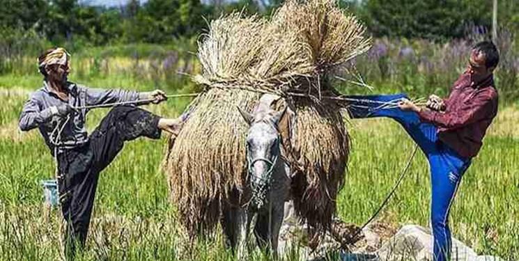 هشدار «نارنجی» هواشناسی کشاورزی در گیلان