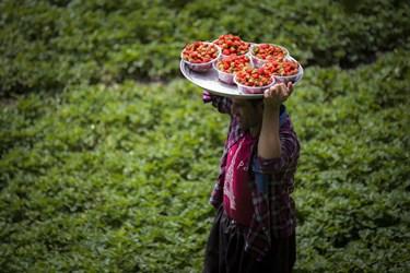 توت فرنگی یکی محصولات باغی  از روستاهای منطقه هورامان است
