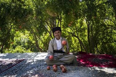 هر ساله با آمدن فصل پاییز برداشت انار در ۳۵۰ هکتار از باغات اورامان استان کردستان آغاز می شود
