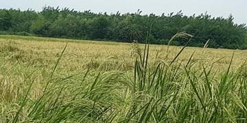 تداوم بارندگی تشدید خسارات مزارع برنج را در پی دارد