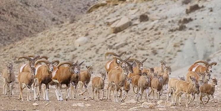 آغاز سرشماری پستانداران شاخص حیات وحش آذربایجانغربی