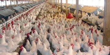 مشکل توزیع مرغ فقط با استفاده از سامانه رهیاب حل نمیشود