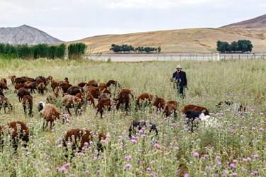 مرد چوپانی در حال چراندن گله گوسفندان خود در اطراف تالاب قوری گول است.