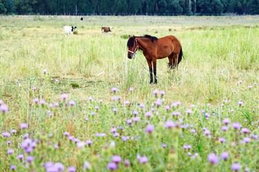 نمایی از مناظر اطراف تالاب قوی گول که اسب و گاوهای روستائیان در حال چرا در آنجا هستند.