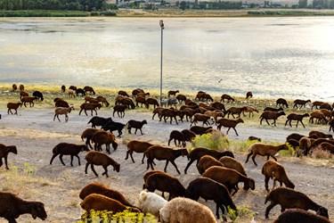 گله گوسفندان در حال عبور از کنار دوربین نظارتی سازمان محیط زیست هستند. تالاب قوری گول از مناطق حفاظت شده محیط زیست استان آذربایجانشرقی است