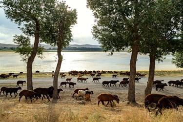 گله گوسفندان در حال عبور از کنار ساحل تالاب قوری گول است.