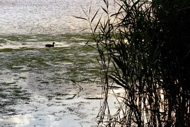 پرندهای در حال شنا در نزدیکی نیزارهای تالاب قوری گول دیده میشود.