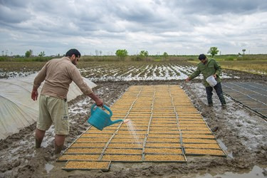 کشاورزان دانه های برنج را در سینی های مخصوصی ریخته و آنها را با مراحل خاصی پرورش میدهند تا جوانه بزند