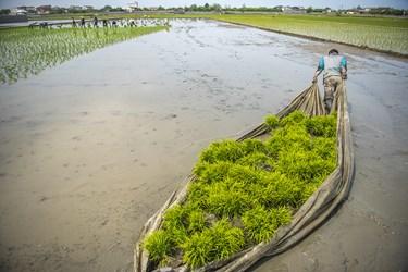 کشاورزان پس از انتقال، انها را  برای نشا به زمین کشاورزی برده که اینکار به دو صورت سنتی و صنعتی انجام میگیرد