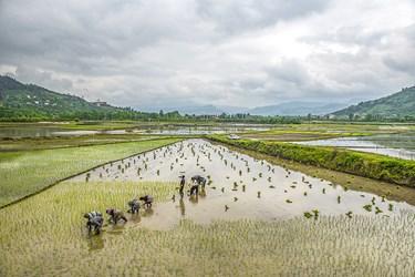 در روش کاشت سنتی جوانه برنج مردان و زنان مازنی بصورت گروهی که اکثرا اقوام همدیگر هستند  در انجام اینکار به همدیگر کمک میکنند