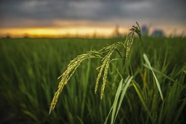 جوانه های برنج مزارع   شهرستان آمل  استان مازندران