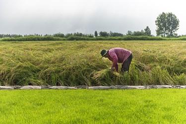 پس از رشد کامل گیاه برنج  به دو روش دستی  و مکانیزه مرحله برداشت انجام میپذیرد