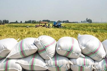 پس از برداشت برنج توسط دستگاه کمباین آنها را در کسیه ریخته و بسته بندی میکنند