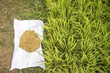 ۳۲درصد برنج کشور تولید استان مازندران است