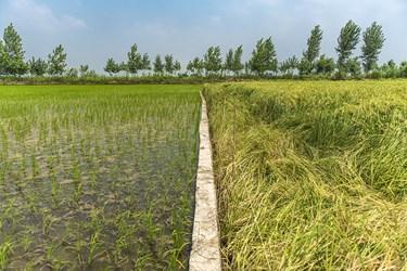 تعدادی از کشاورزان با نشاء  دوم برنج برای سود بیشتر آب بیشتری را مصرف کرده که این باعث به صدا درامدن کم ابی درمازندران است