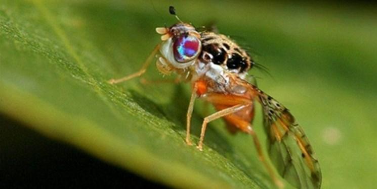 پیشگامی دانشبنیانها برای از بین بردن آفات کشاورزی و باغی/ حذف مگسهای میوه با محصولی زیستی
