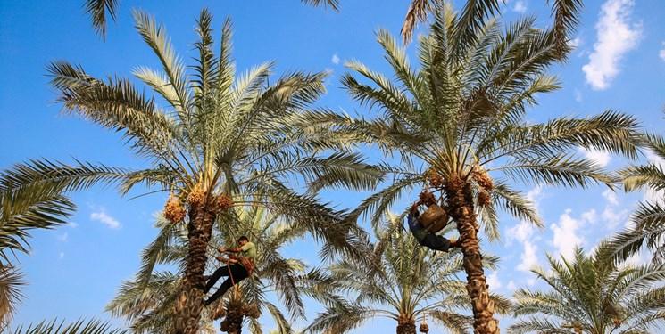 وزیر کشاورزی برای پاسخ به وضعیت خرمای دشتستان به مجلس میرود
