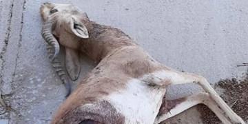 جدال سگ گله با گونه حمایت شده جبیر در بهرام گور