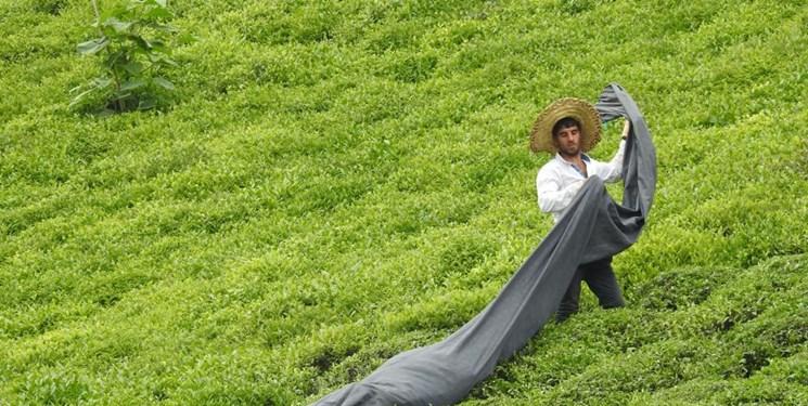 شروع چین سوم برداشت برگ سبز چای در شمال ایران/برداشت بیش از ۱۰۰ هزار تن برگ سبز