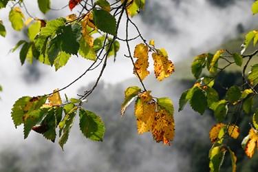 برگ درختان بلوط كه به رنگ پاييز درآمد