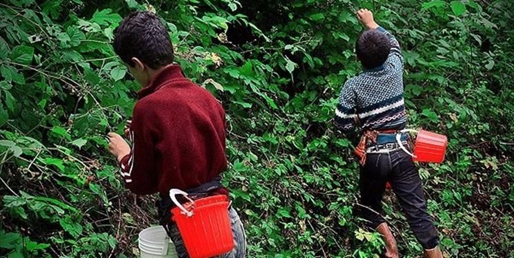 برداشت دانههای سرخ و سیاه؛ زمین نیم هکتاری که برای 25 نفر اشتغال آفرید