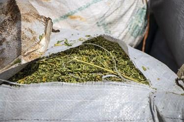 مواد مخدر گل که توسط پلیس کشف و ضبط شده است