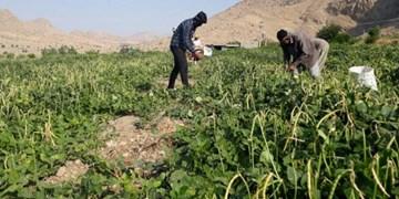 برداشت لوبیا از مزارع میامی آغاز شد