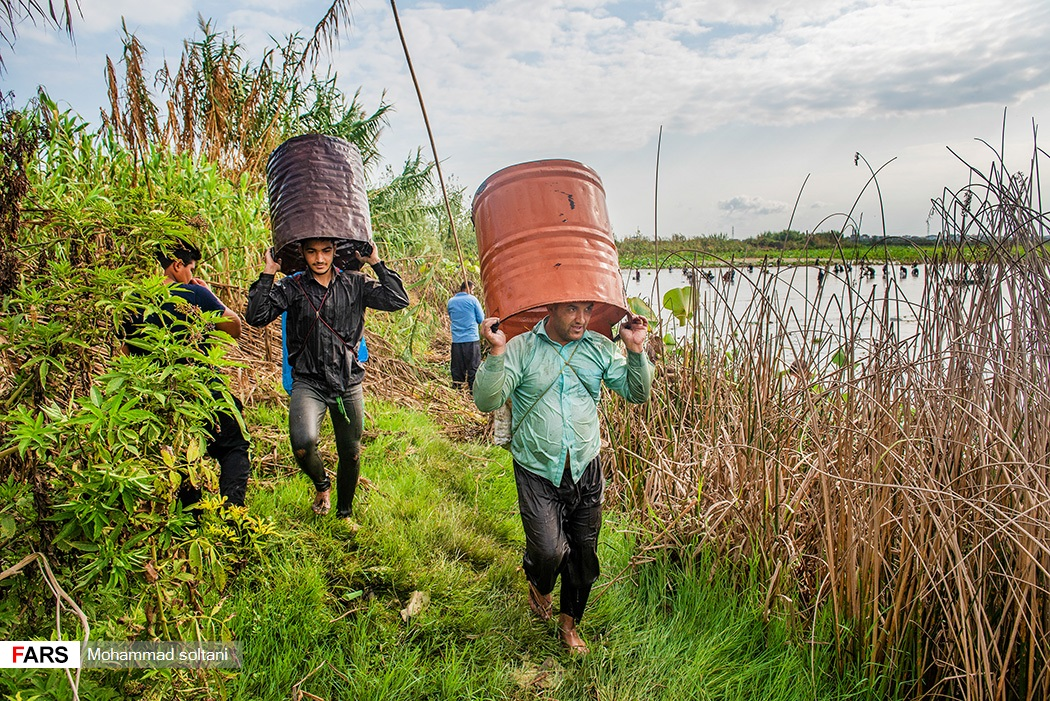اهالی روستای رودبست بابلسر با ورود به اب بندان شروع به صید می کنند