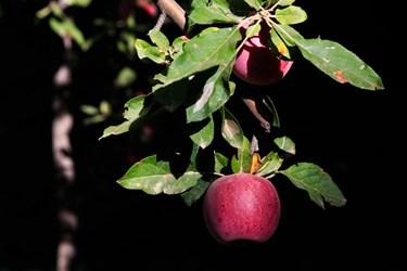 برداشت سیب از باغهای زنوز و مرند