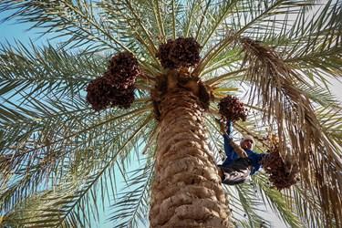 ارقام نخیلات خوزستان شامل استعمران، برحی، زاهدی، گنطار، خضراوی، بریم، خاصی و کبکاب است