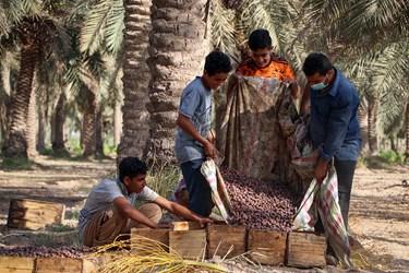 برداشت خرما از نخلستانهای غزاویه شهرستان کارون