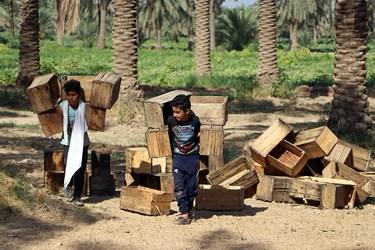 فرزندان خانواده و اهالی روستا در برداشت خرما کمک می کنند