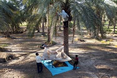 برای جلو گیری از حدر رفت محصول زیر انداز بزرگی اطراف درخت خرما پهن میکنن و محصول برداشت شده روی ان قرار گیرد.