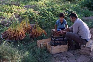 کل تولید خرمای استعمران استان خوزستان حدود ۱۴۶ هزار تن پیش بینی شده که از این میزان ۸۵ هزار تن به ارزش ۱۰۰میلیون دلار صادر و ۲۶ هزار تن نیز در بخش فرآوری صنعتی داخل استان جذب میشود.