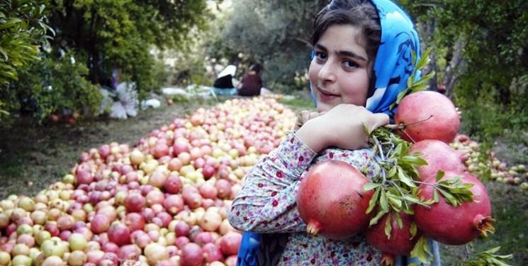 برداشت بیش از ۷۰۰۰ تن محصول انار از باغات  استان آذربایجانشرقی
