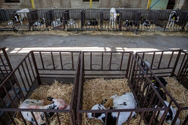 محل نگهداری گوساله ها در شرکت دامداری تلیسه نمونه